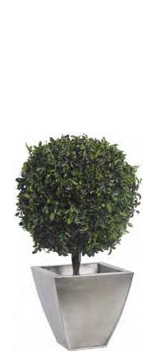 Green Pitosporo Base Topiary