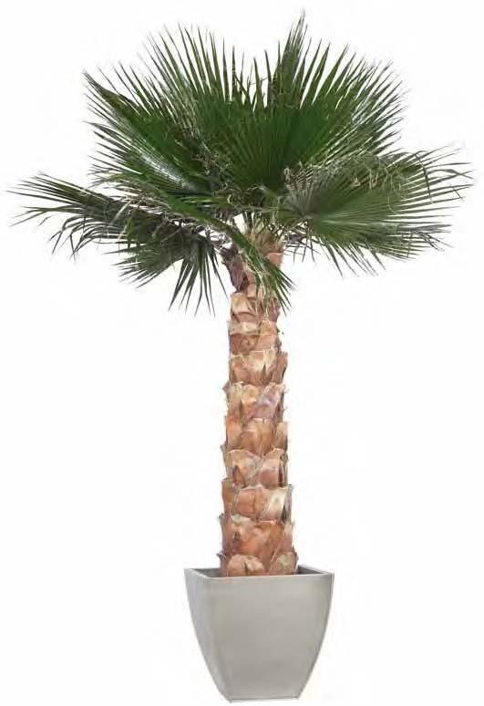 Palma washingtonia piante stabilizzate for Palma pianta