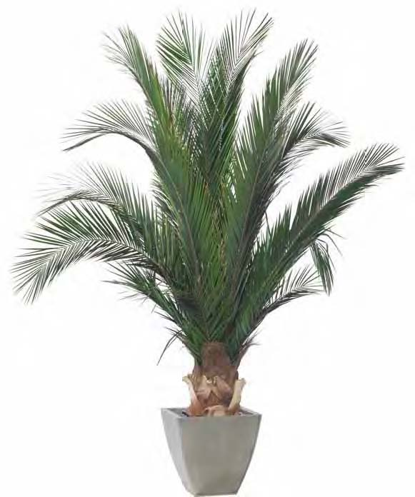 Piante Palme : Palma phoenix base piante stabilizzate