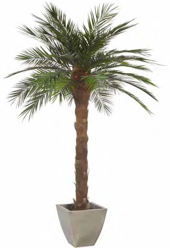 Palma phoenix piante stabilizzate for Pianta palma
