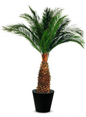 Agave Palm